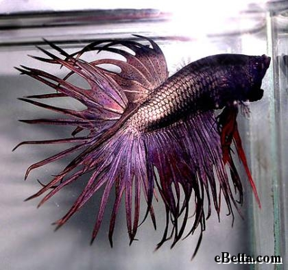 Introductions are in order the adventures of als boy for Purple betta fish